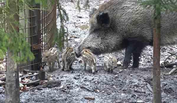 Devět narozených selátek v oboře v hradeckých lesích